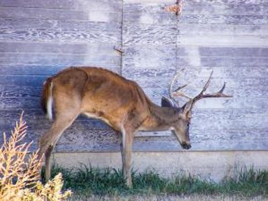 A sick and gaunt-looking deer in Kansas shows the effects of chronic wasting disease. Missouri game officials hope to halt the spread of CWD through testing of hunter-killed deer.