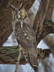 Long-Eared Owl, Bella Vista Road, Vernon, British Columbia