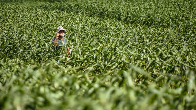 In this file photo, farmer Ernie Wusstig walks through a field of his super sweet corn crop in Dededo on March 10, 2017. Wusstig is leasing several acres of Chamorro Land Trust land for his Dededo farm.