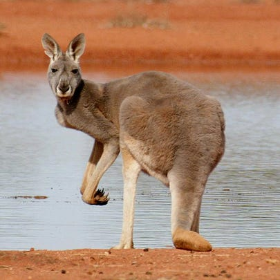 This photo from July 2002 shows a kangaroo standing