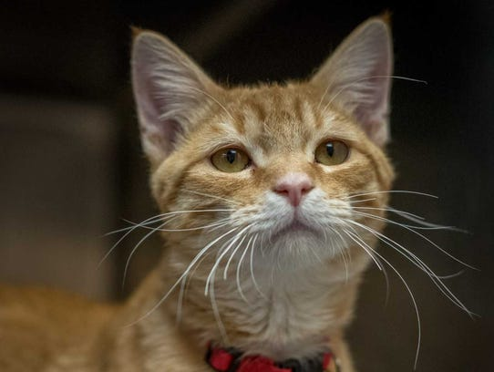 Keeno - Male (neutered) domestic short hair, about