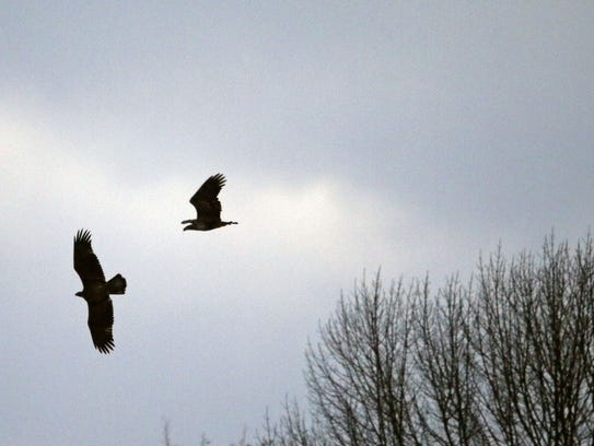 Eagles soar over the Fox River in Appleton in early December. Ron Page/USA TODAY NETWORK-Wisconsin
