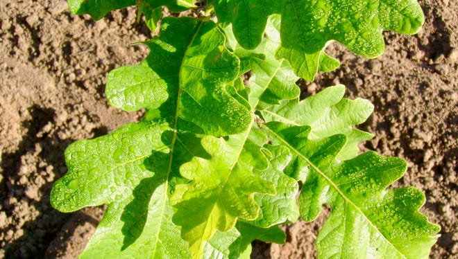 The Wisconsin native burr oak is a favorite tree among arborists and offers year-round beauty.