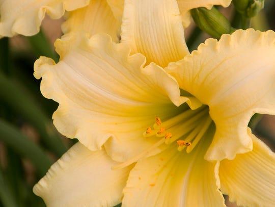 Cream daylily