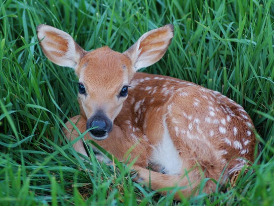Small fawn curled up in the grass.