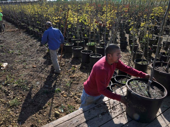 Workers load Rising Sun Redbuds at Jackson Nursery.