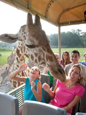 2015: Riders get up close and personal with a giraffe at Six Flags Great Adventure's safari ride.
