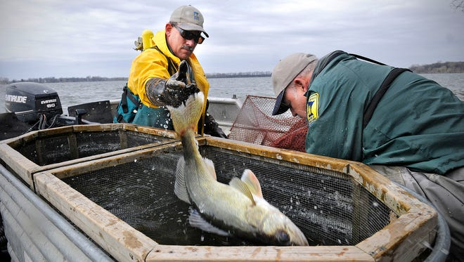 Minnesota Department of Natural Resources staff members Brad Carlson, left, and Dave Coahran of the Spicer area fisheries office remove walleyes April 16 from nets set on Diamond Lake near Atwater. The fish are transported to the DNR's hatchery in New London where eggs are collected, fertilized and hatched.