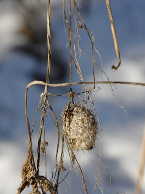 Wild cucumbers hang from vines in Rockville County Park & Nature Preserve.