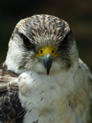 """""""Peregrine Falcon: From Endangered Species to Urban Bird"""" opens a four-month run at the Farmington Museum at Gateway Park this weekend."""