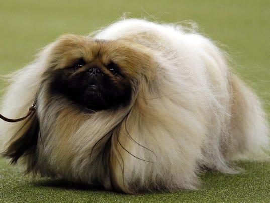 Chuck The Pekingese Dog Show