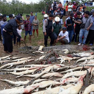 Mob slaughters nearly 300 crocodiles in wildlife preserve after Indonesia man is killed