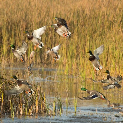 A flock of ducks flushing from a wetland.