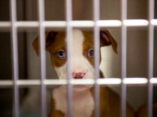 One of a litter of puppies looks to be adopted soon at the Warrick Humane Society.