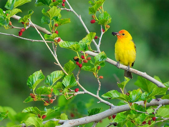 Birds, like this western tanager, are Maria Jeffs'
