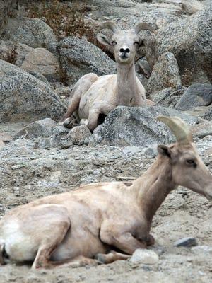 Bighorn sheep rest at the edge of SilverRock Resort in La Quinta in April 2014.