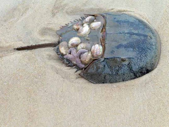 HES-BM-040616-Horseshoe-Crab.jpg