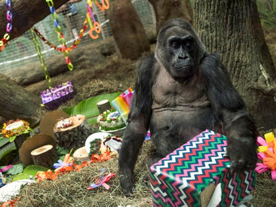 FILE – In this Dec. 22, 2016, file photo, Colo, the world's first gorilla born in a zoo, opens a present in her enclosure during her 60th birthday party at the Columbus Zoo and Aquarium in Columbus, Ohio. The Columbus Zoo and Aquarium said Tuesday, Jan. 17, 2017, that Colo, the oldest known gorilla in the U.S., died in her sleep less than a month after her 60th birthday.
