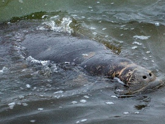A stranded manatee was found in the Corpus Christi Ship Channel at a dock where a flow of warm water from the Citgo refinery probably attracted the manatee on Jan. 3, 2007.