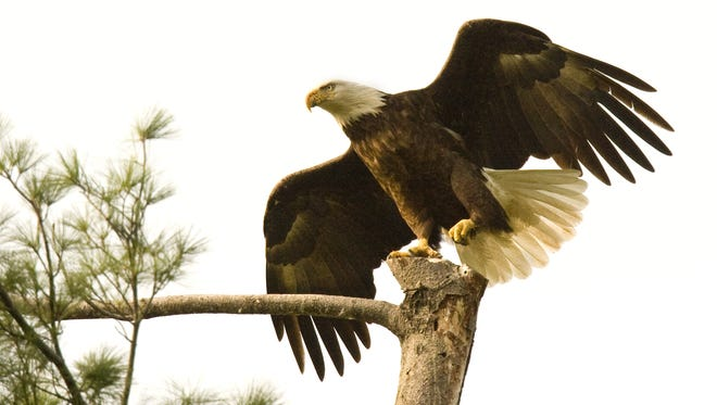 A pair of eagles were photographed at their nest site near the Ohio River in eastern Louisville in 2012.