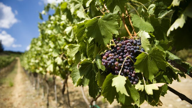 Grapes on the vine in Tuscany, Italy.