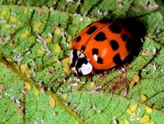 635823324937415805-Asian-lady-beetle