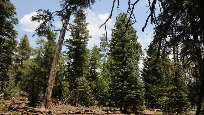 Stands of old-growth trees can be seen along Mormon Mountain Trail southeast of Flagstaff.
