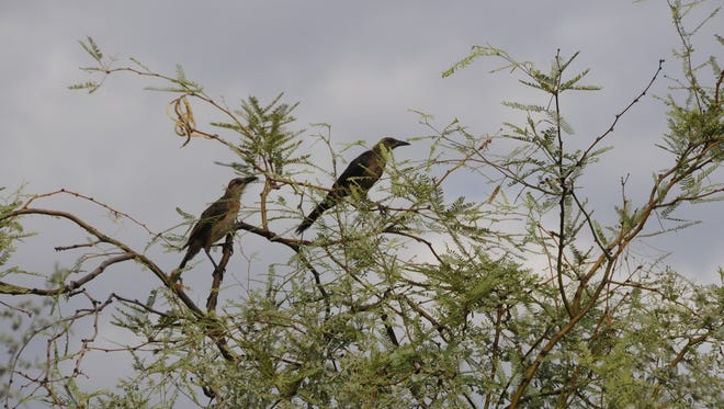 The Rio Salado habitat restoration area in downtown Phoenix attracts many types of birds and other wildlife.