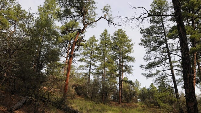 Without enough winter moisture, the pine  trees will be more susceptible to bark beetles and disease, all of which lead to tree mortality.