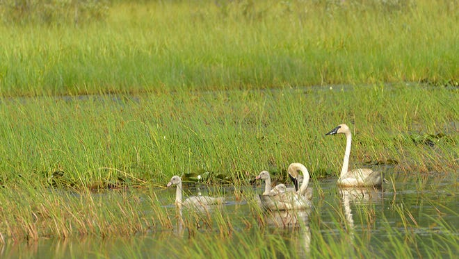 Wisconsin is home to some of the United States' most diverse and valuable wetlands, which provide essential habitat for wildlife and waterfowl such as these trumpeter swans.