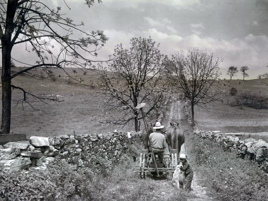 A farmer and his horses wander down a lane edged by stone fences.