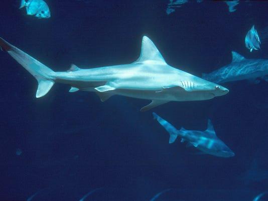 636273527091996982-sharks.jpg