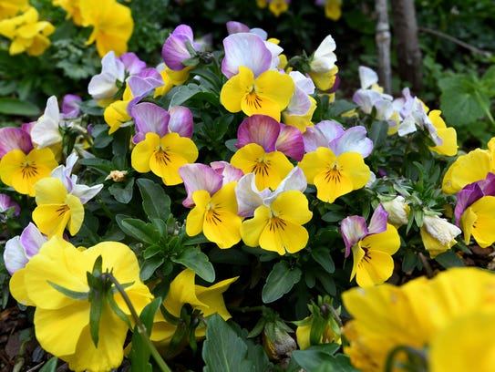 These pansy flowers at the UT Gardens on Neyland Drive
