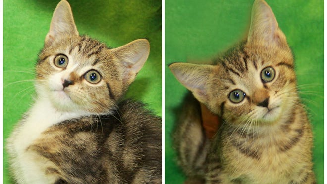 Ferbie and Wilma are just two of the kittens available for adopting or fostering.