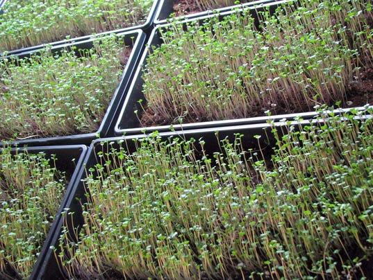 WSF 0216 UW microgreens
