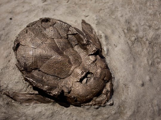 A fossil of a Placoderm, an armored fish, is on display at the Nasr Natural Science Museum in the Clara E. Mackenzie building on the campus of St. Clair County Community College in Port Huron.