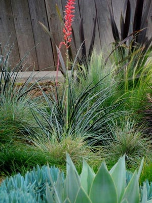 Agave and hesperaole