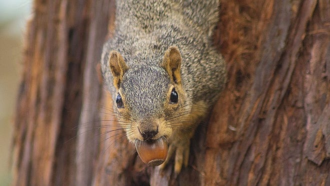 Squirrels and oaks have a mutualistic symbiotic relationship, our columnist writes.