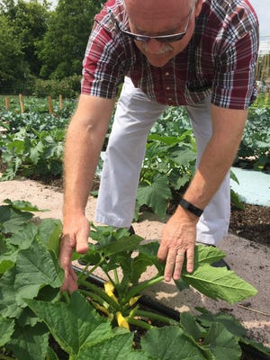 """Rev. George Lewis checks on the summer squash growing in a """"Giving Garden"""" at First United Methodist Church of Howell. Gardens at the church are being featured in LACASA's 19th annual Garden Tour. Church volunteers harvest produce from the garden and donate it to Gleaners Community Food Bank in Howell."""