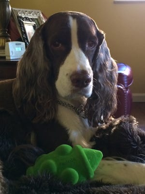 Everett is an 8-year-old English springer spaniel owned by Mary Beth Poulimenos of Kennedy Heights. She likens cheap pet foods to fast-food restaurants for humans and says that just because they're FDA approved doesn't mean they're the healthiest choice. Provided photo