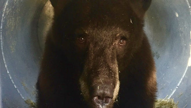 Nevada wildlife officials caught this two-year-old female bear Saturday, Oct. 22 in Reno. They sedated her and applied tags and a satellite tracking collar before a scheduled release into the mountains.