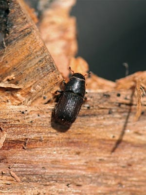 A mountain pine beetle (Dendroctonus ponderosae) that recently emerged from the pupal stage crawls across the interior side of pine bark removed from a dying tree.
