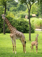 Margarita stands with her newborn calf in this file photo. Nashville Zoo officials euthanized Margarita on Wednesday after the 14-year-old giraffe experienced complications from arthritis.