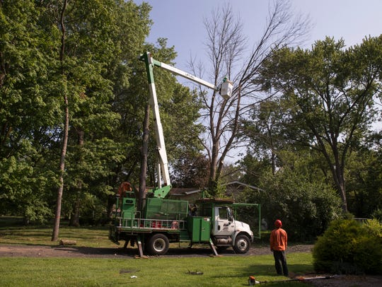 A crew works to remove two ash trees that have been