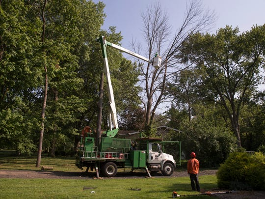 A crew works to remove two ash trees that have been destroyed by emerald ash borers, an invasive species that is destoying much of these trees in Indianapolis, Monday, August 14, 2017.