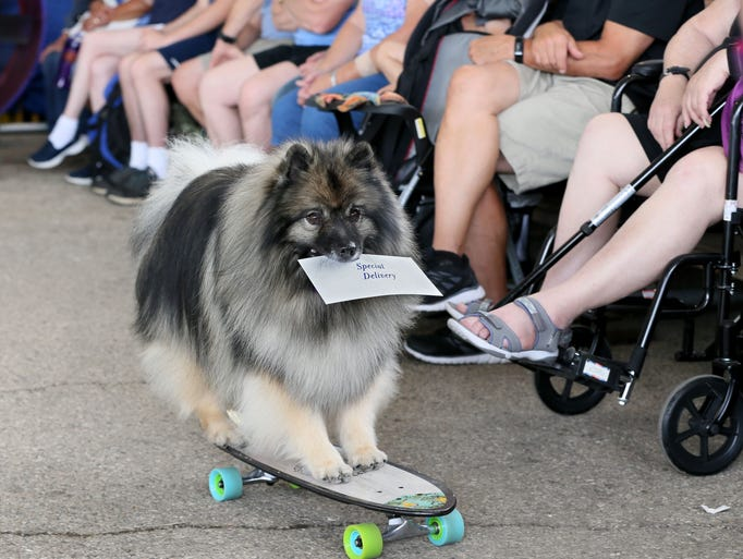 Sherlock, a Keeshond, jumps on a skateboard to deliver