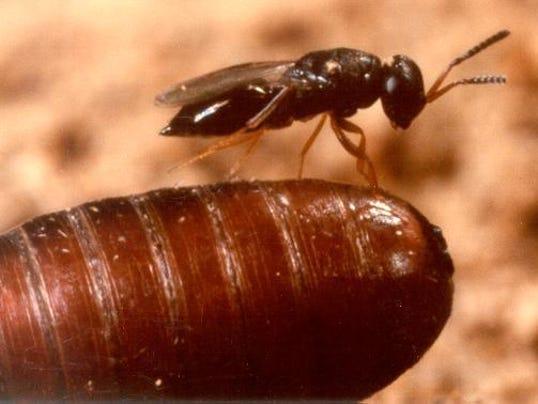 636366945904694857-fly-parasite-on-pupae.jpeg