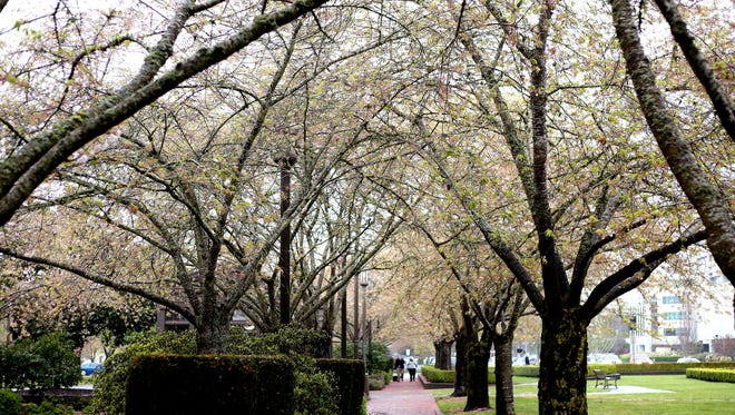 The cherry blossom trees at the Oregon State Capitol Mall in Salem on Monday, March 23, 2015.