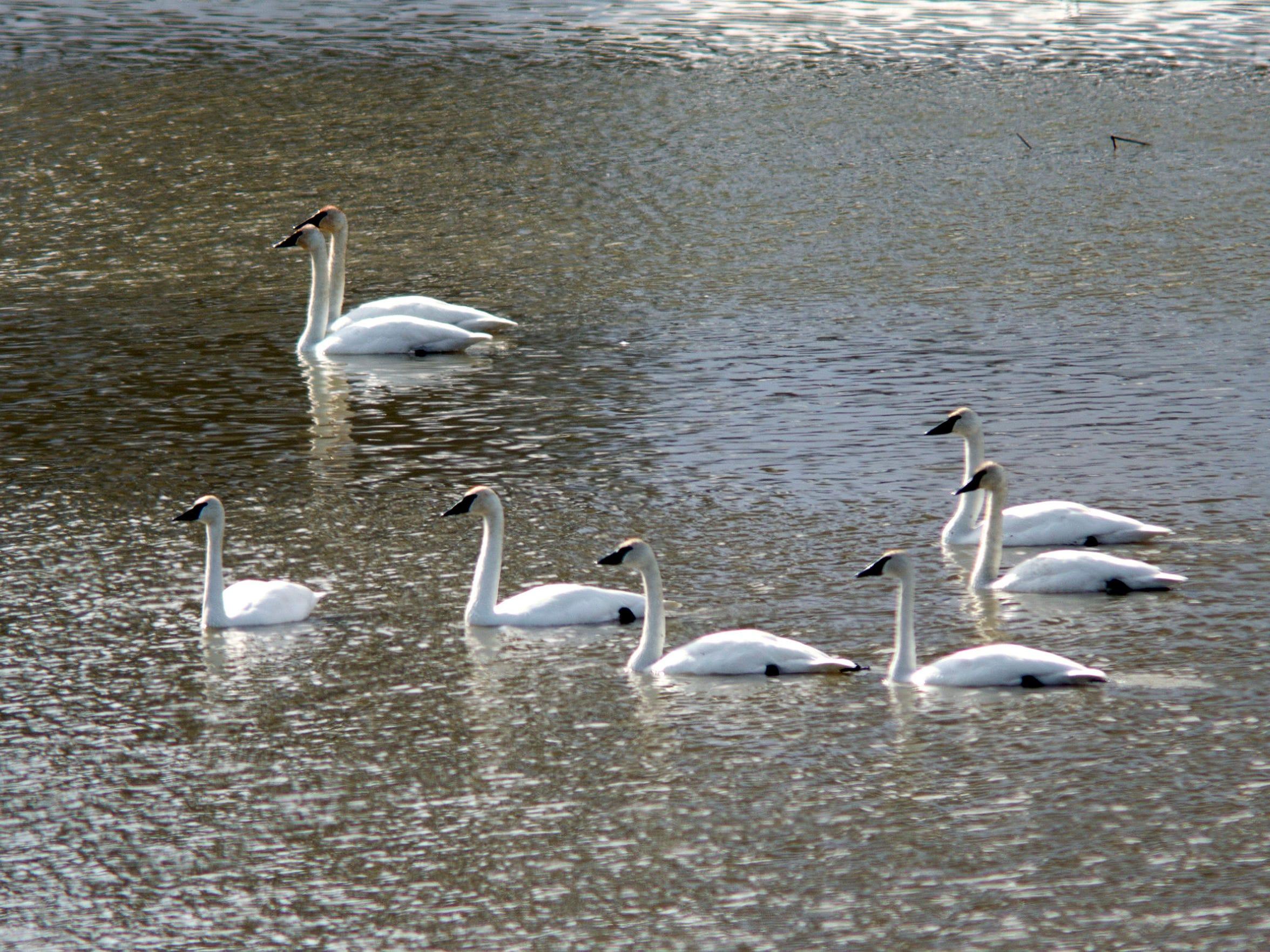 -Trumpeter Swans 2.jpg_20130401.jpg