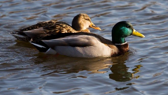 Mr. and Mrs. Mallard swim serenely.